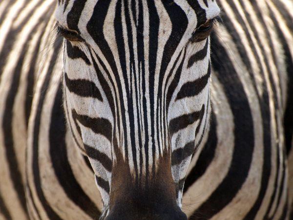 zebra-in-tanzania_11974_600x450
